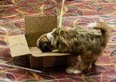 dog searching in box