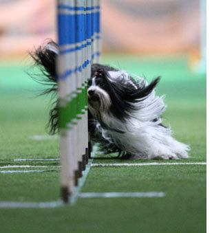 agility dog weaving through poles