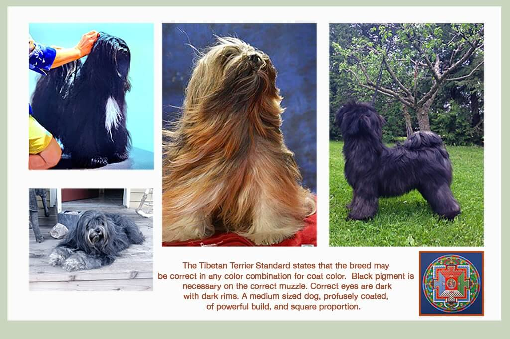 Examples of typical Tibetan Terriers