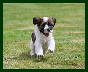 brown and white puppy running